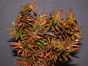Braune Nadeln bei Taxus baccata - Nadelfall bei Eiben
