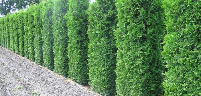 Thuja-Lebensbaum als immergrüne und robuste Heckenpflanze