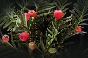 Früchte Taxus baccata