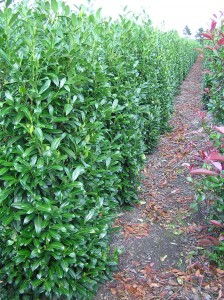 Kirschlorbeer Solitärpflanzen aus unserer Baumschule