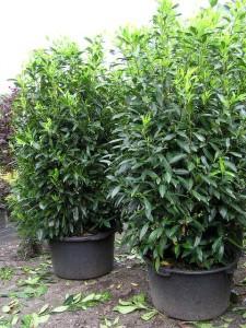 Prunus laur. Herbergii im Topf / Container