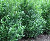 Kirschlorbeer: Prunus laurocerasus als Heckenpflanze