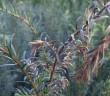 Schadbilder bei Taxus-Eiben