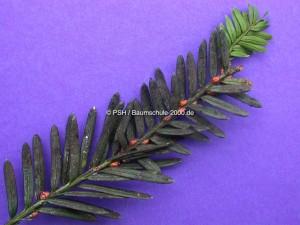 Schildläuse auf den Nadeln von Taxus baccata