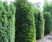 Taxus baccata – Die Gemeine Eibe als immergrüne Heckenpflanze