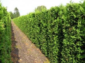 Thuja occ. Brabant (Lebensbaum) als Heckenelement (Bild von unseren Kulturflächen unserer Online-Versandbaumschule)