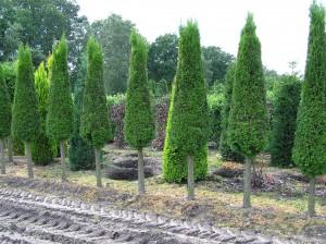 Thuja Lebensbaum occ. Smaragd als Kegel auf Halbstamm (Bild aus unserer Baumschule)