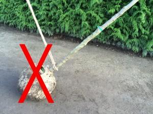 Bild 1: FALSCHE Befestigung einer Solitärpflanze!
