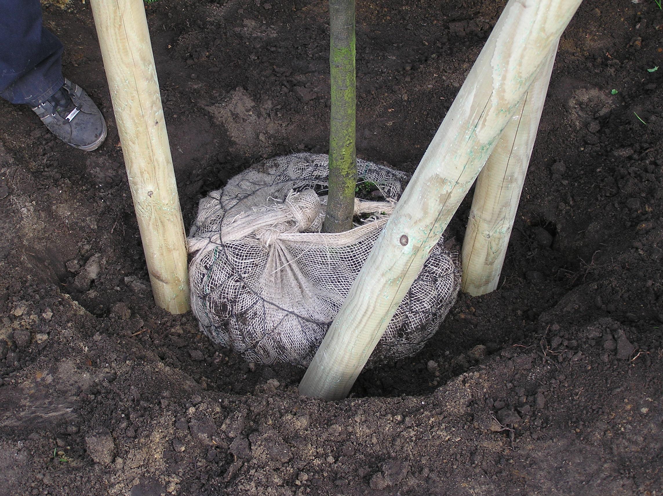 Wie Pflanze ich einen Baum? Pflanzanleitung für Bäume
