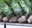 Lose geladene Solitärpflanzen