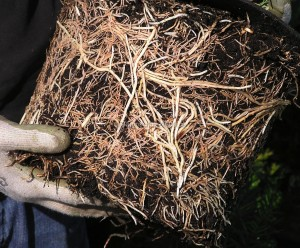 Tolles Wurzelwerk einer Taxus baccata Containerpflanze
