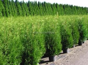 Thuja occ. Brabant - Lebensbäume im Container