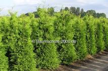 Bodenvorbereitung f r die pflanzung von heckenpflanzen - Heckenpflanzen bilder ...