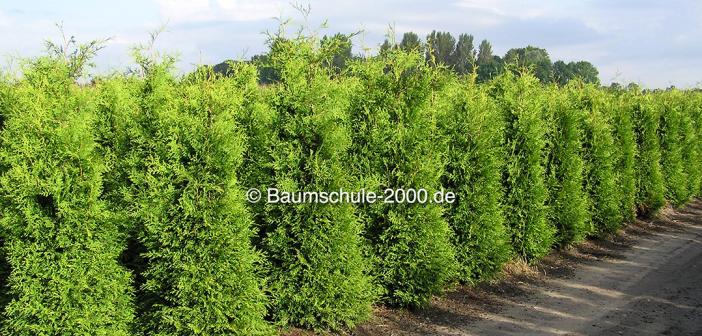 Pflanzabstand bei Heckenpflanzen und Bäumen
